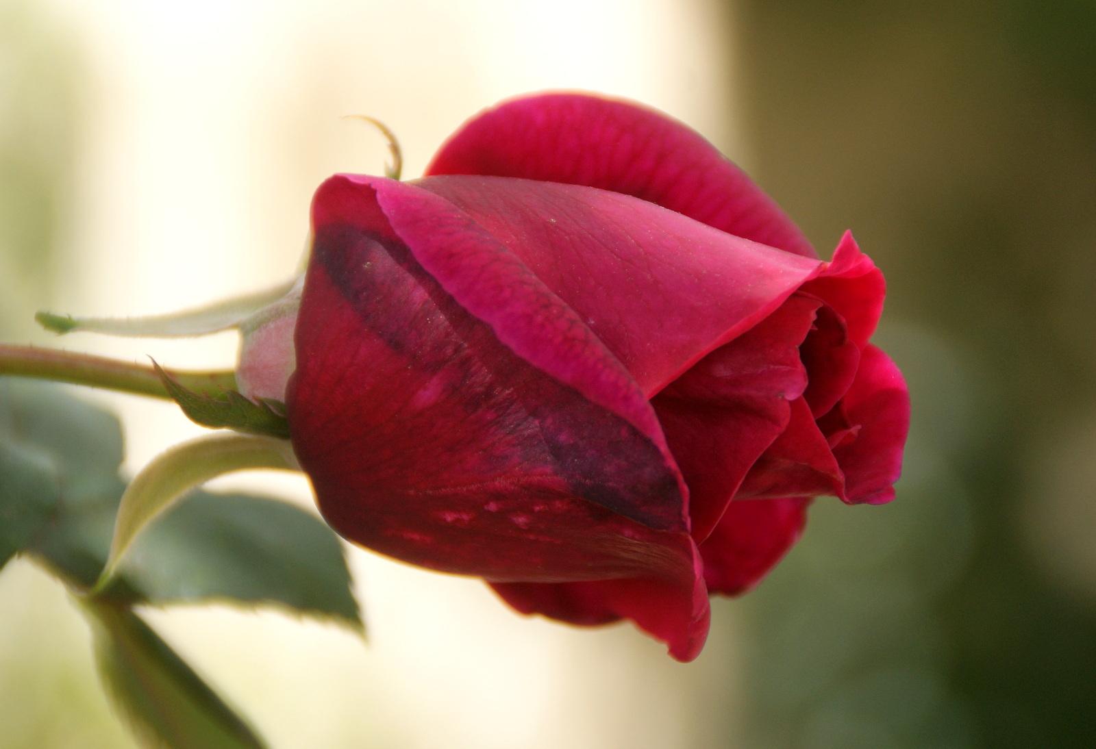 Organic Garden Dreams March Roses