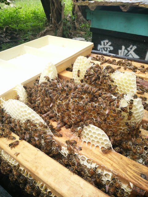 牛舌@愛蜂園,台灣養蜂場,健康伴手禮,天然蜂蜜,蜂花粉,蜂蜜醋,蜂蜜蛋糕,蜂王乳,蜂王漿,台灣養蜂協會會員,客製化禮盒,台灣蜂蜜,純蜂蜜,蜂蜜檸檬,產品經SGS檢驗合格,