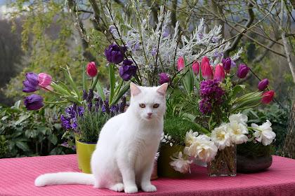 اكبر قطط في العالم