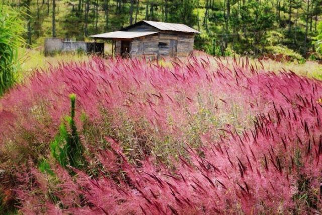 Đến với Đà Lạt hãy ngắm đồi cỏ hồng đuôi chồn đẹp tựa xứ Nhật Bản đẹp mê hồn 2