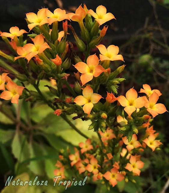 Flores naranjas simples del Kalanchoe blossfeldiana