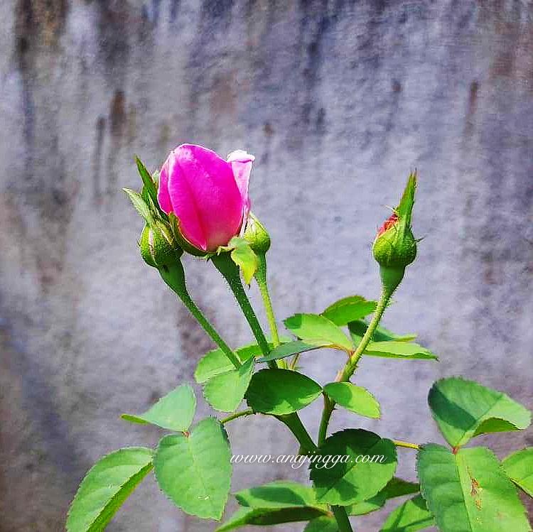 Impian untuk miliki taman bunga ros