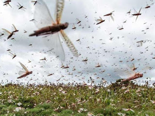 बिहार की ओर तेजी से बढ़ रहा है टिड्डी दल, सूर्योदय के समय खेत पर करते हैं हमला