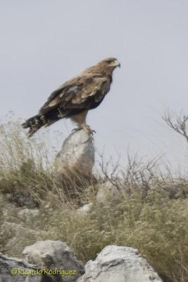 Águila imperial ibérica posada en una roca