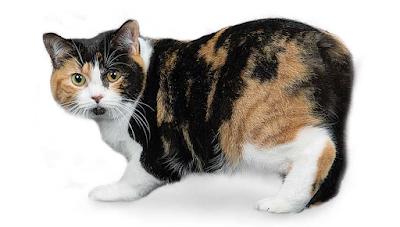Jenis Ras Kucing Manx