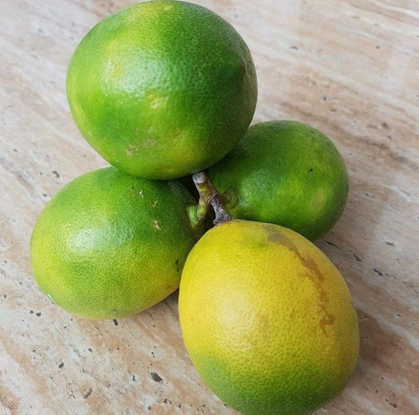 bibit lemon jumbo California okulasi bisa di tabulampot kan