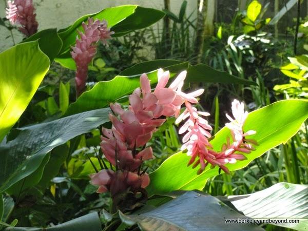 pink spiral ginger plant at Kula Eco Park in Fiji