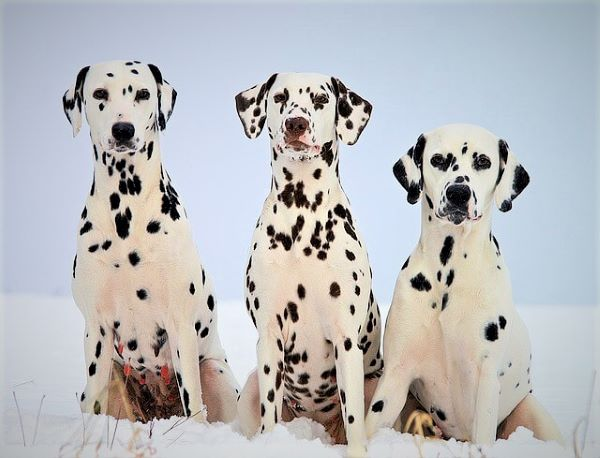 5 Facts That Nobody Told You About Dalmatian Temperament