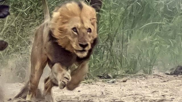 Caçador é perseguido e devorado por leões na África do Sul