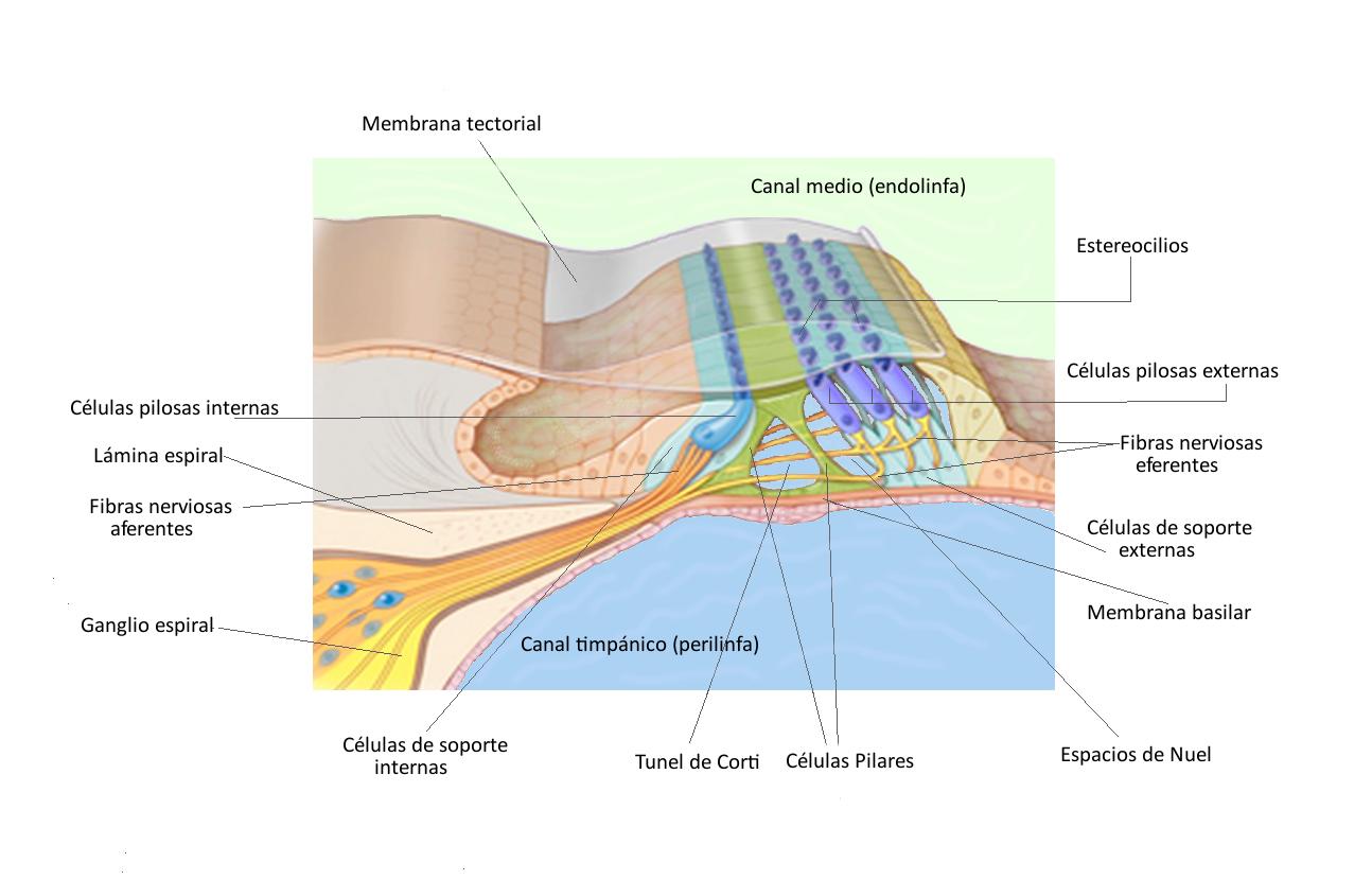 Figura 7. Ilustración de un segmento del órgano de Corti