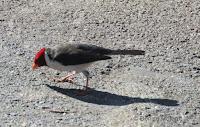 Yellow-billed Cardinal – Kailua-Kona, Big Island – © Denise Motard