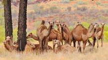 Australia kills five thousand wild camels