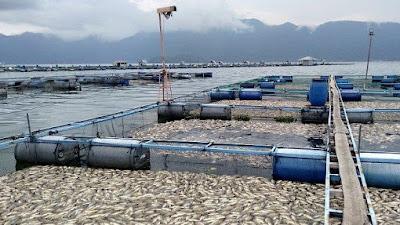 Akibat Kekurangan Oksigen, Enam Ton Ikan di Maninjau Mati Mendadak