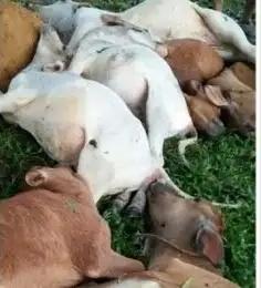 13 Ternak Lembu Warga di Langkat Mati Disambar Petir