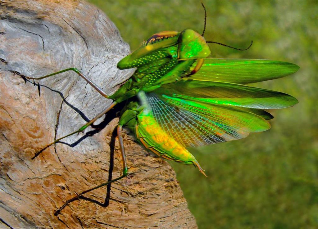Mendonoma Sightings Two Photos Of A Praying Mantis From Coastal
