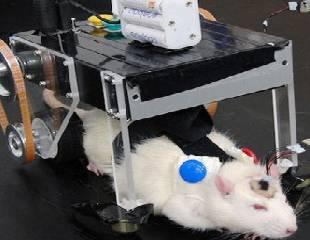 implantan cerebro de cyborg en rata