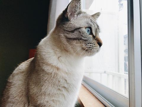 窓の外を見ているシャムトラ猫