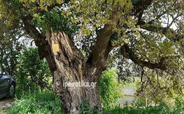 Το πουρνάρι στα Ζαγοροχώρια που ξεχωρίζει – Είναι ένα από τα μεγαλύτερα και τα μακροβιότερα στην Ελλάδα