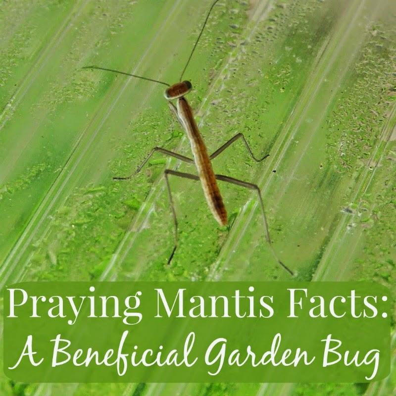 Linn Acres Farm Praying Mantis Facts A Beneficial Garden Bug