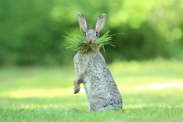 "Highly Commended Wildlife Comedy Photo Competition by Olivier Colle dengan judul ""Eh What's Up Doc"""