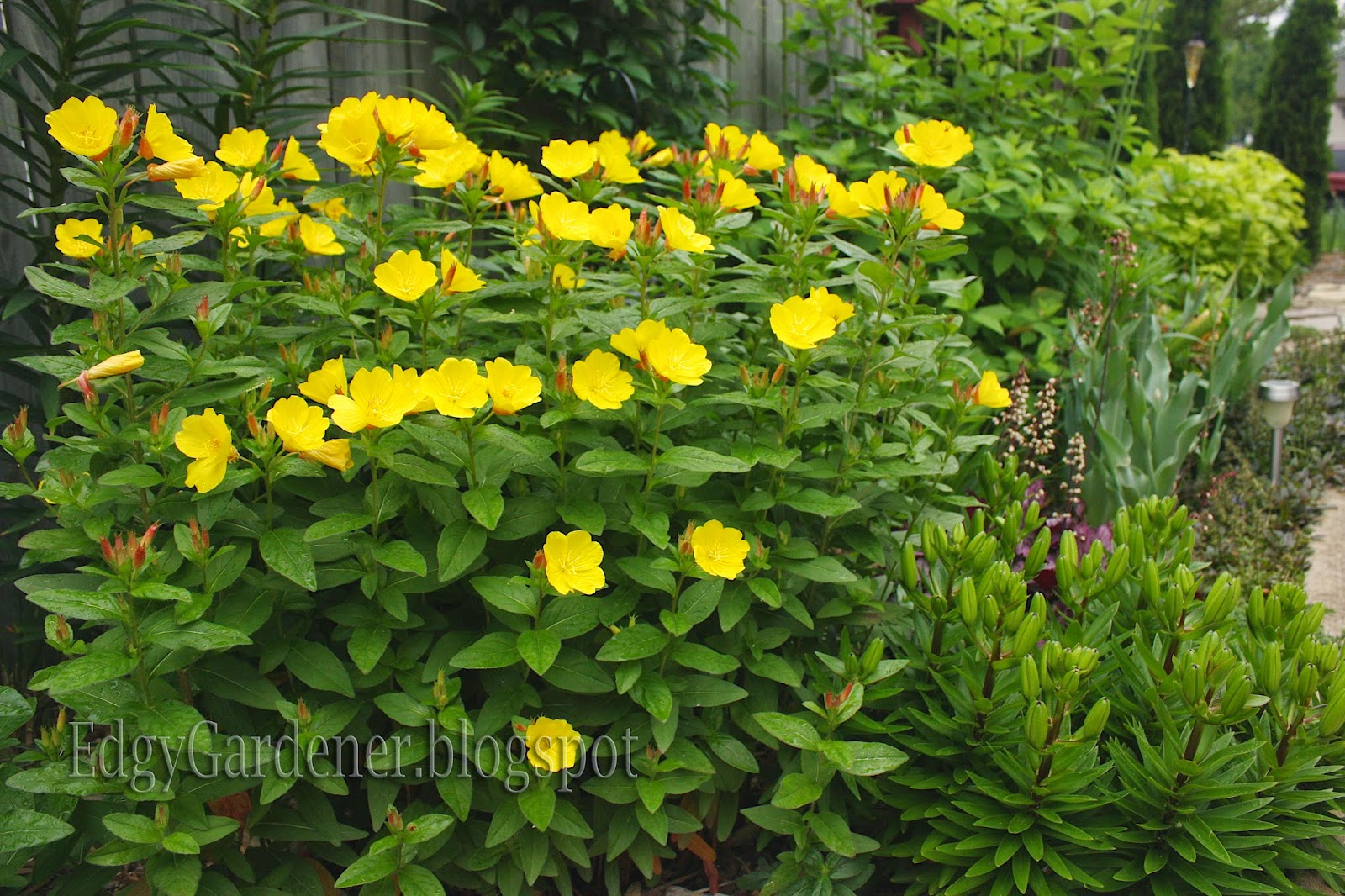 The Edgy Gardener Blog Plant Profile Sundrops Or Evening