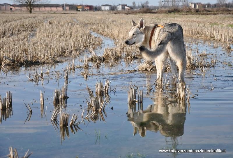 Risultati immagini per cane lupo in wetland