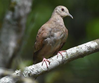 Ruddy Ground Dove at Reid Park