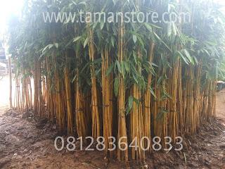 Jual pohon bambu kuning panda