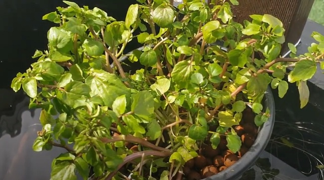 Growing watercress in aquarium / pond