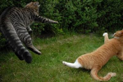 Foto kucing berantem yang keren 04