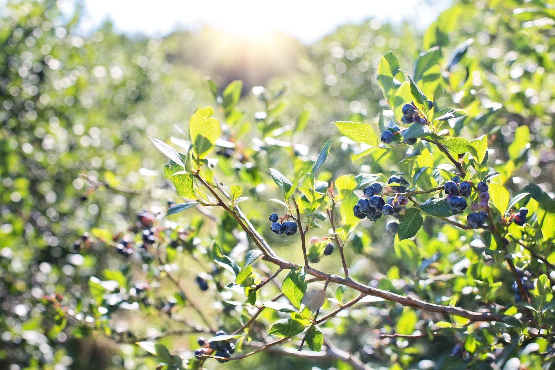 A Quick Guide to Planting Blueberries