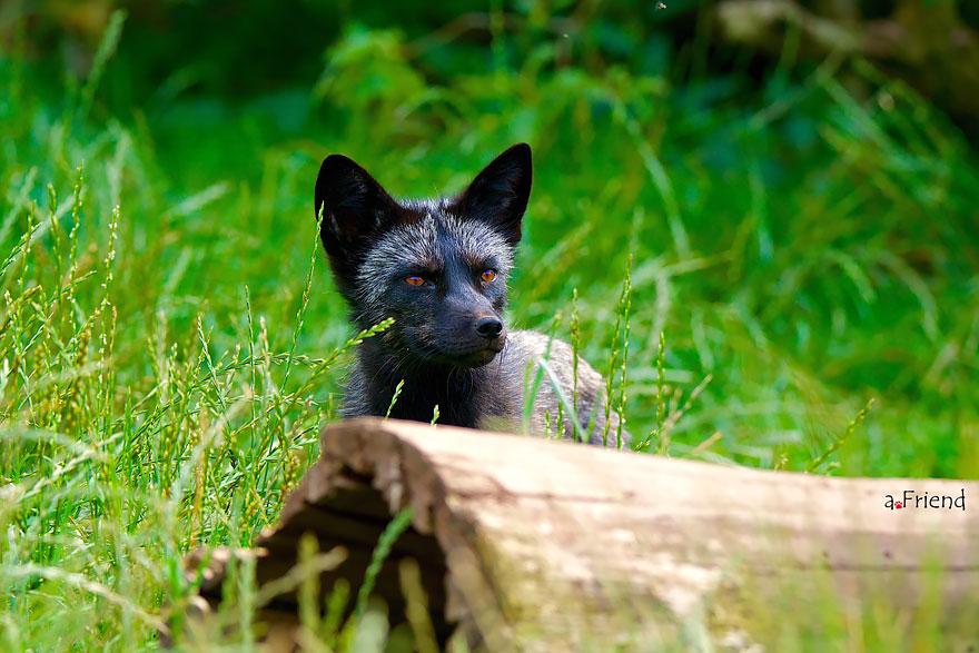 omorfos-kosmos.gr - Η σπάνια ομορφιά των μαύρων αλεπούδων