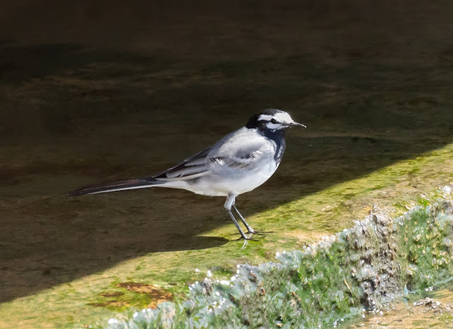 Moroccan Wagtail - Oued Souss, Morocco
