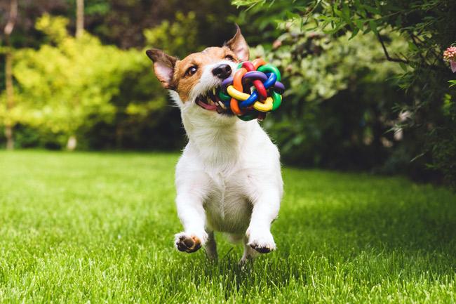 Dingo zabawki dla psa