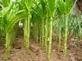 tanaman asparagus