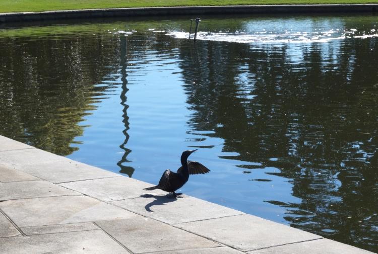 Royal Botanic Gardens, cormorant sunbathing, Sydney, Australia, Euriental