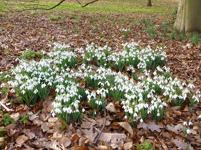 A cluster of January snowdrops at Kew Gardens