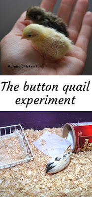 How to raise button quail.