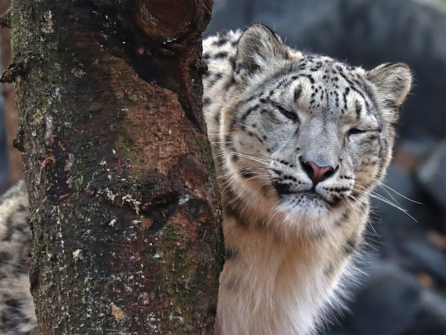 Northumberland Country Zoo Review (with a pushchair) - snow leopard