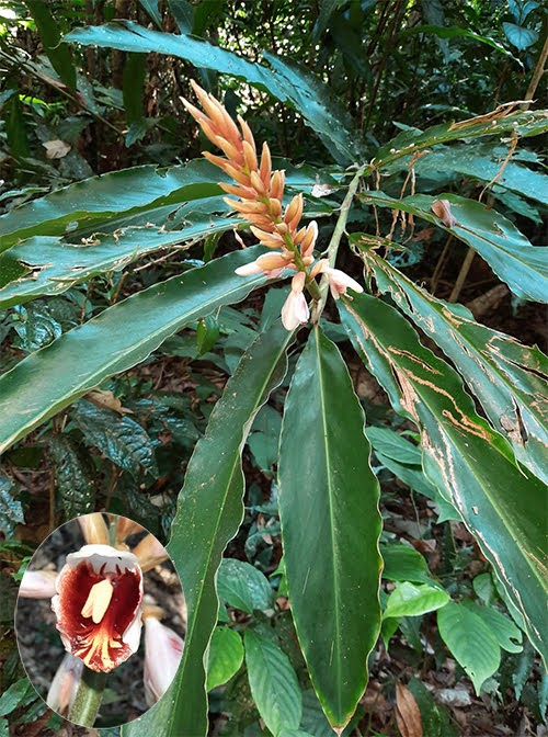 Alpinia blepharocalyx var. glabrior