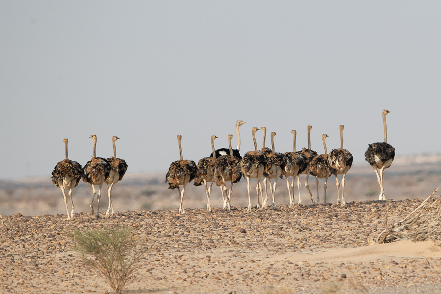 North African Red-necked Ostrich