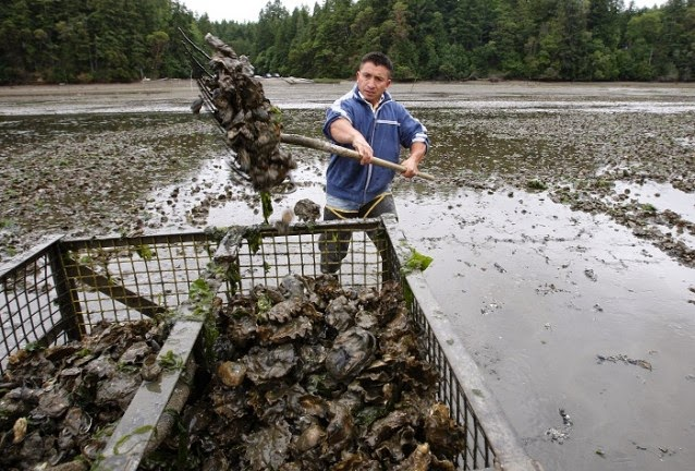 A worker harvests oysters for Taylor Shellfish in Washington, another company grappling with the effects of ocean acidification. (Credit: AP/Ted S. Warren, file) Click to enlarge.