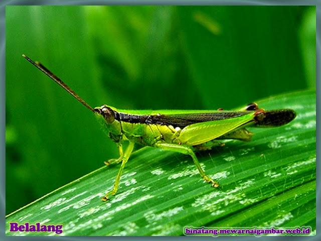 gambar belalang