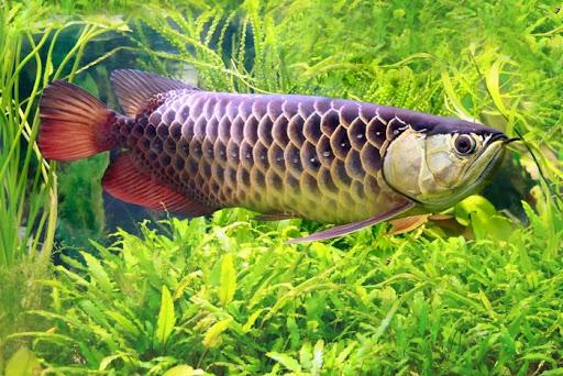 Disinilah Supplier Jual Bibit Ikan Arwana Mataram, Nusa Tenggara Barat No. 1