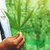 Légaliser la Marijuana: Promesses, Risques et Bases bibliques