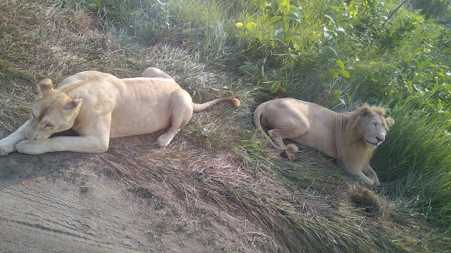 Lion-at-Bangabonddhu-Safari-Park-Gazipur
