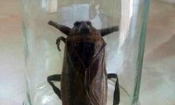 Το σαρκοφάγο έντομο που εντοπίστηκε στη Ροδόπη (βιντεο)