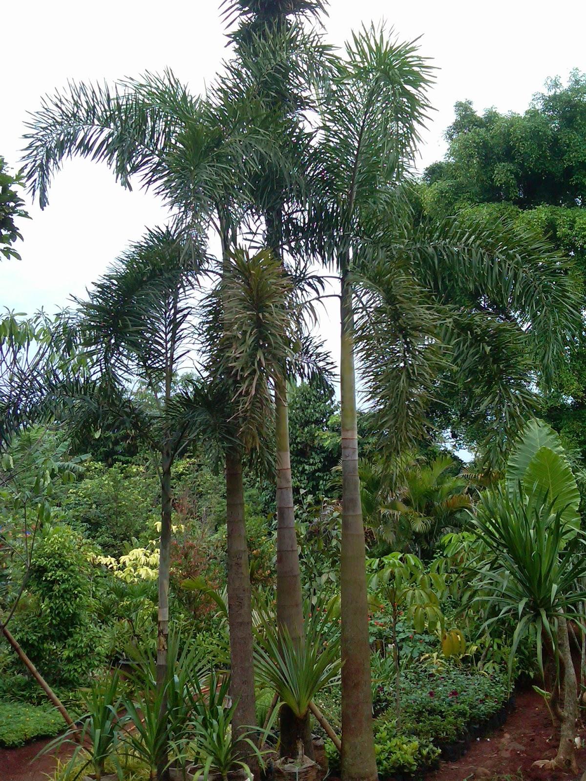 jual pohon palem ekor tupai