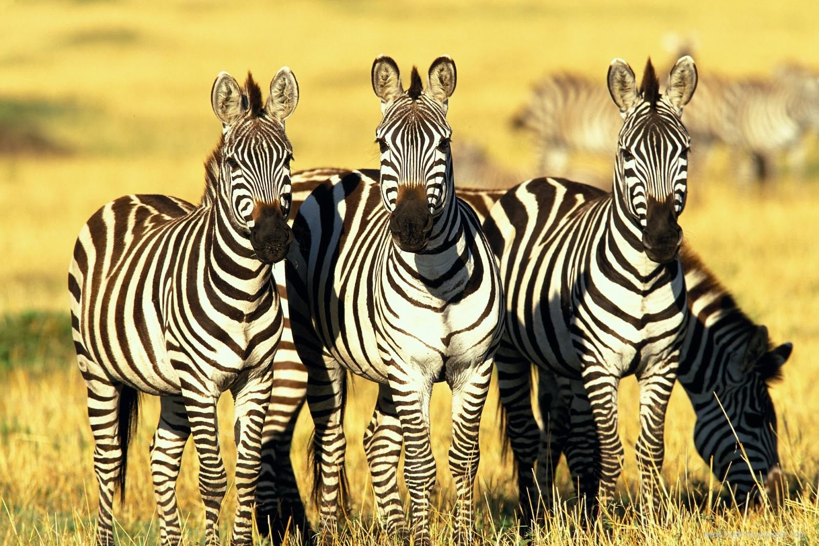 Wildlife Of The World: Zebra HD Wallpapers