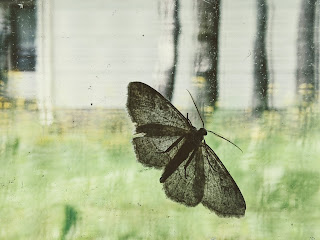 Moth On Window Pane